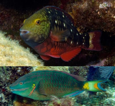 Parrotfish2Phases