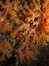 This is a true soft coral in the family Nephtheidae that we saw all over one of the walls of our dives.
