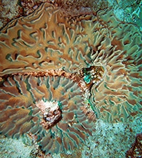 These are leather corals that have zooxanthellae.