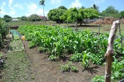 Tongan garden