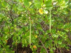 Mangrove Species: Rhizophora-stylosa