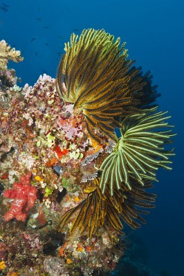 Crinoids capture plankton from coral reef currents.