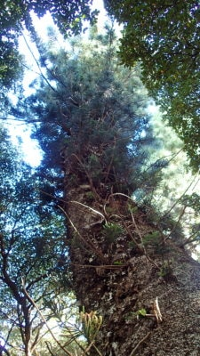 The tall Cook pines have a thin paper-like bark.  Branches whorl horizontally around the central trunk.