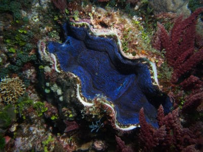 Tridacna deresa, one giant clam species