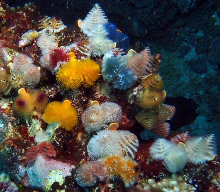 Christmas Tree Worms, Spirobranchus giganteus, feed on plankton from currents.