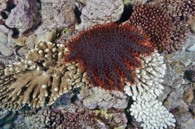 A Crown of Thorns Starfish eating a coral in the Cook Islands.