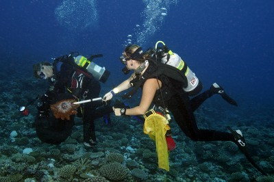 Two Scientific Divers collects COTS from the overrun reefs.