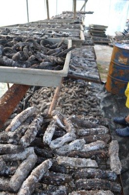 Sea Cucumbers being harvested; observed as a victim of overfishing by Tongan locals.