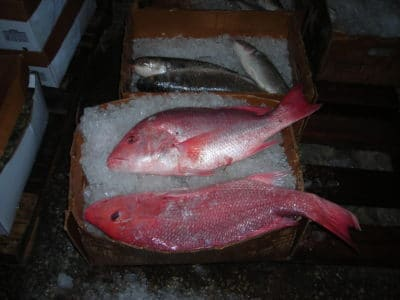 Fisheries Data, Fresh caught Red Snapper from the Gulf of Mexico.