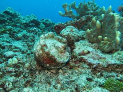 Green Snails on Raiatea Reef in French Polynesia
