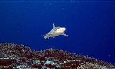 Great Barrier Reef Black Tip Reef Shark