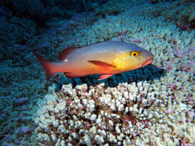 Great Barrier Reef Snapper