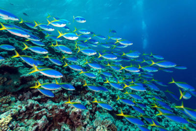 Schooling fusiliers at the outer Great Barrier Reef.