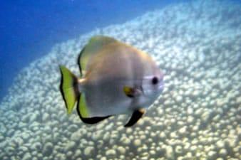Batfish swiming past giant pavona clavus colony.