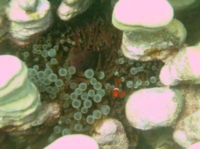 Clownfish living in anemone nestled among pavona clavus columns.