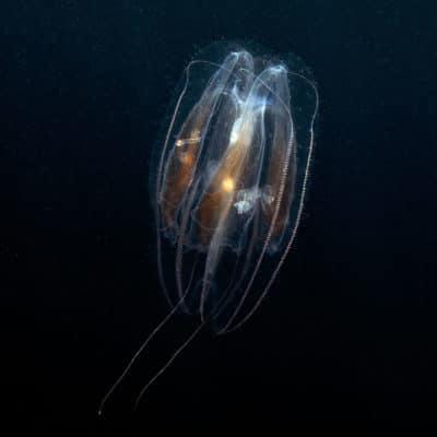 Ctenophore floating thru the water column.