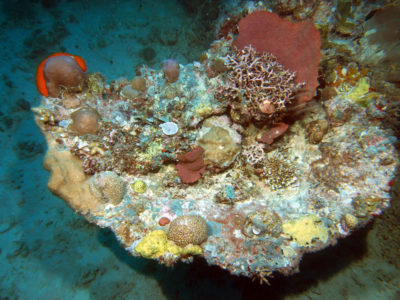 Dead table acroporids in growth position with small massive corals (Astreopora, Porites, and favia) and branching corals (Acropora and Seriatopora).
