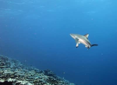 Grey Reef Shark Mid-Turn