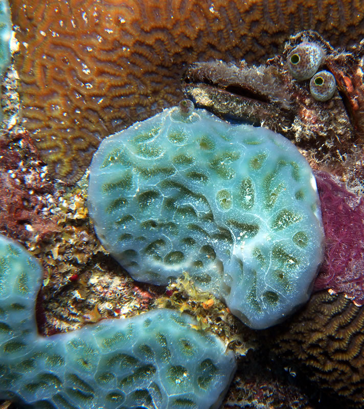 tunicate sea squirt Martina Milanese  PhD, who pointed out that this is a tunicate & not a sponge as we had it labelled.