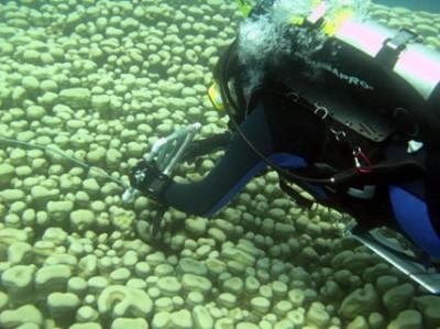 Scientific diver measuring a giant pavona clavus colony.