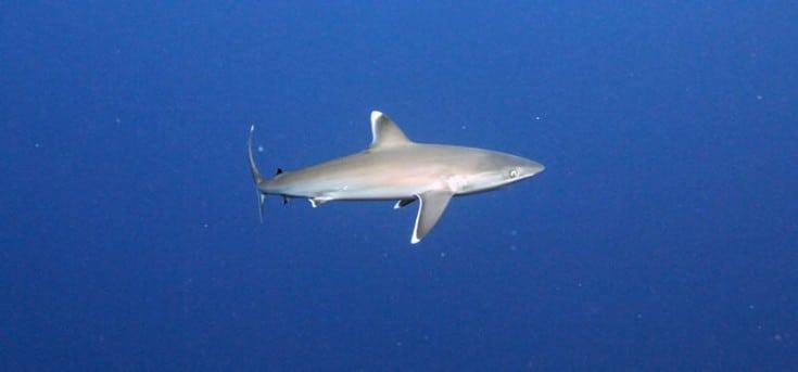 Small Silvertip Shark