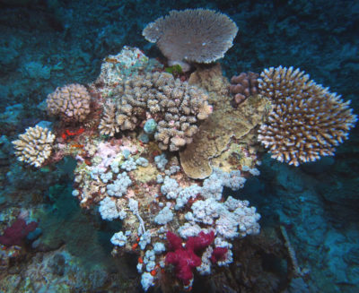 A long dead table acroporid colonized by two table acroporids, Pocillopora, Montipora, branching Acropora and several soft corals.