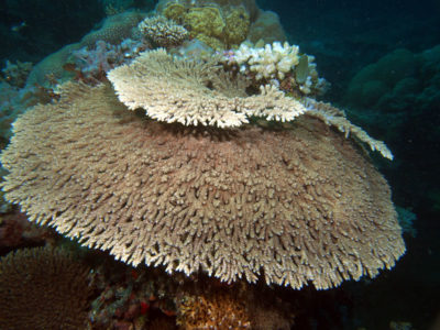Small table coral, Acropora hyacinthus