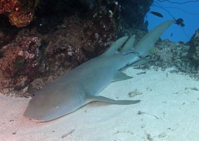 Tawny nurse shark at rest under coral overhang.