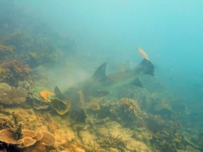 Tawny nurse shark on the attack.