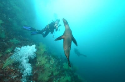 The famous Galapagos sea-lions took an interest in our survey work, Galapagos © KSLOF