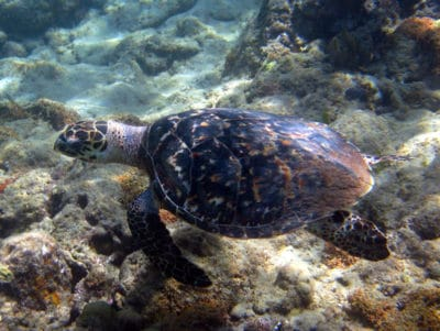 Hawksbill sea turtle swimming at Arnavon Islands, Solomon Islands, with beautiful view of shell.