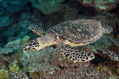 Friendly Hawksbill Sea Turtle (Eretmochelys imbricata).