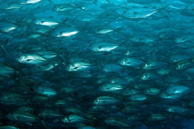 Large school of Bigeye Jacks (Caranx sexfasciatus) greeted us at the start of the dive.