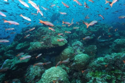 Last remaining true coral reef in the Galapagos Darwin Island