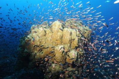 Porites coral at Darwin Island Galapagos