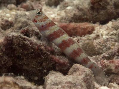 Red Banded Shrimpgoby - Amblyeleotris fasciatus