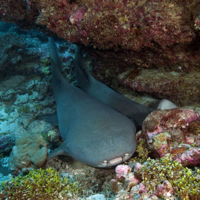 Larger female tawny nurse shark resting under a ledge with a single smaller juvenile