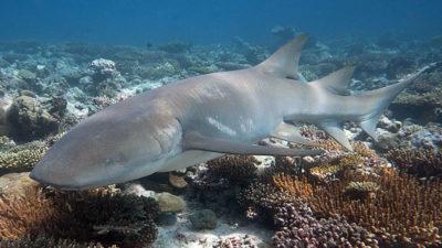 Tawny nurse sharks, Chagos