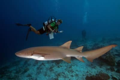 large pregnant female tawny nurse shark comes over to inspect us