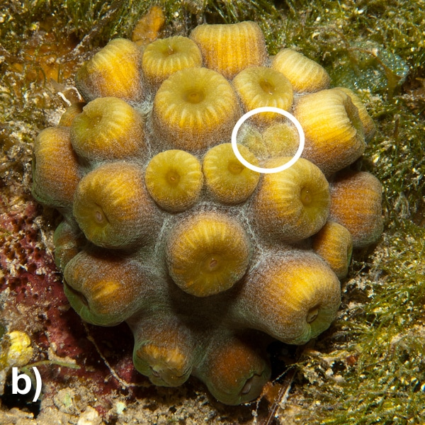Coral asexual reproduction in humans