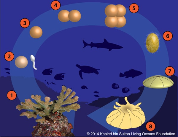 Kslof Coral Reef Education  Free Coral Life Cycle