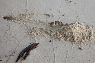 Horn-eyed Ghost Crab excavates burrow by carrying armloads of sand away from entrance