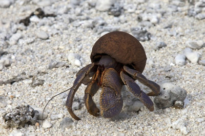 Juvenile Coconut Crab using empty coconut shell for protection instead of gastropod shell