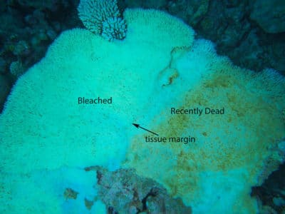 bleaching mortality in acropora cytherea