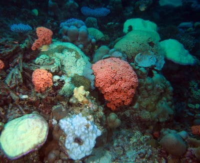 Coral Bleaching BIOT: Colorful Corals