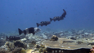 male blacksaddled grouper with 3 female groupers