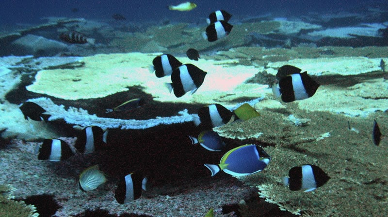 Butterflyfishes are Bountiful at BIOT! (KSLOF)Living ...