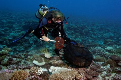 KSLOF scientists Andy Bruckner collecting crown of thorns starfish COTS