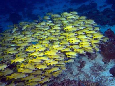 Fish Schools Maldives