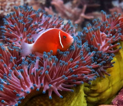 Brightly colored anemonefish at home in its host anemone, Fiji. Photograph by Derek Manzello